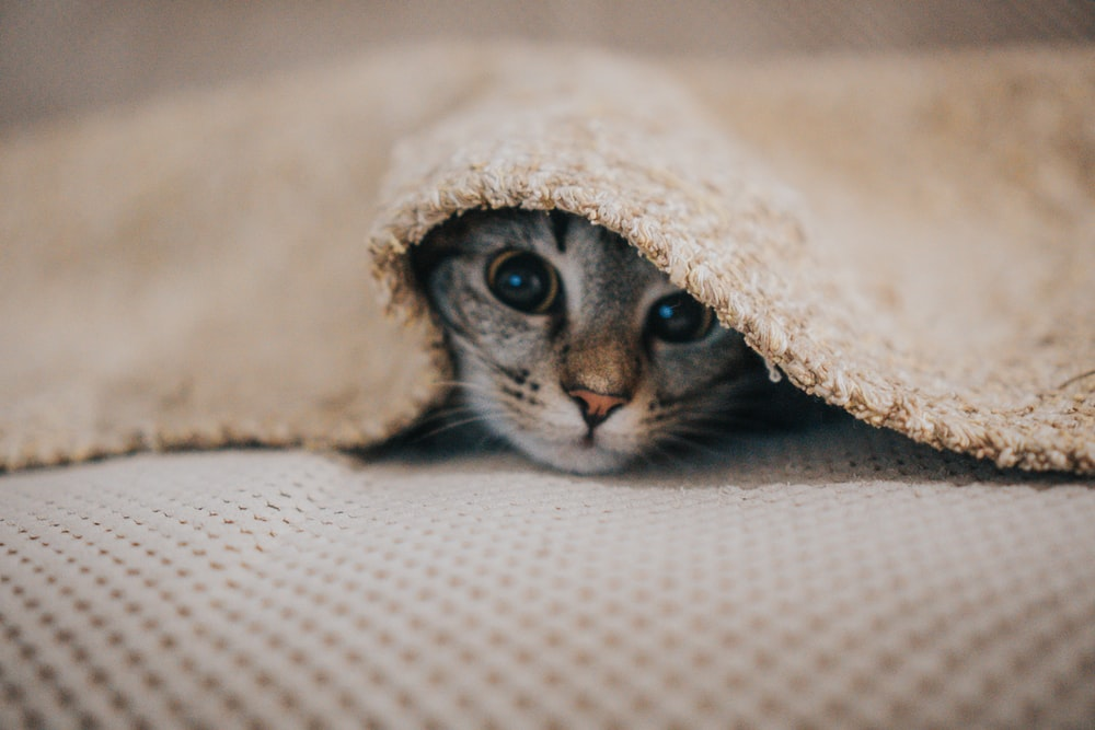 cat underneath blanket