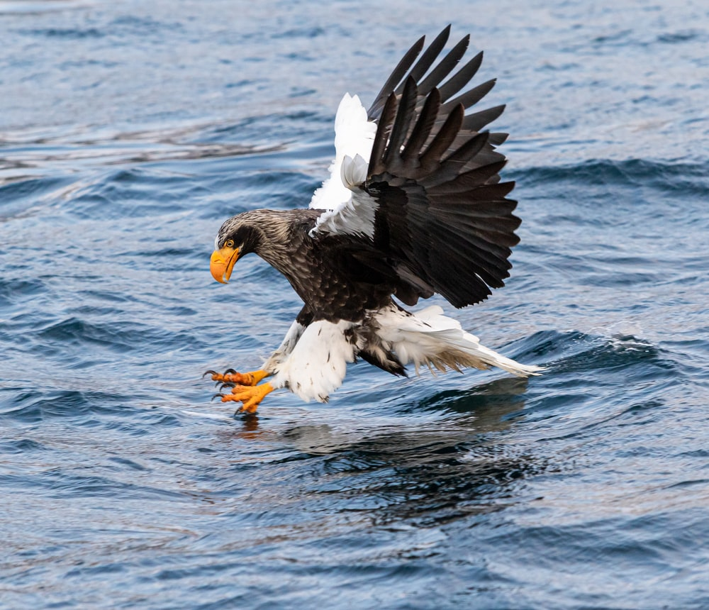 eagle catching fish on calm water
