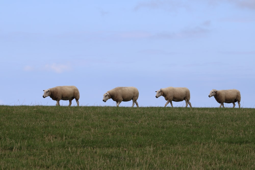 herd of white sheep on green grass field during daytime