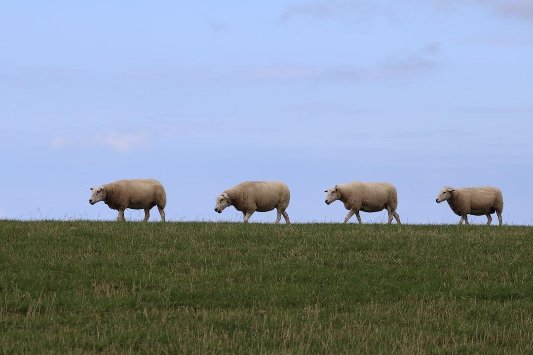 Sheep, walking on a dyke on Ameland, a Dutch Island.