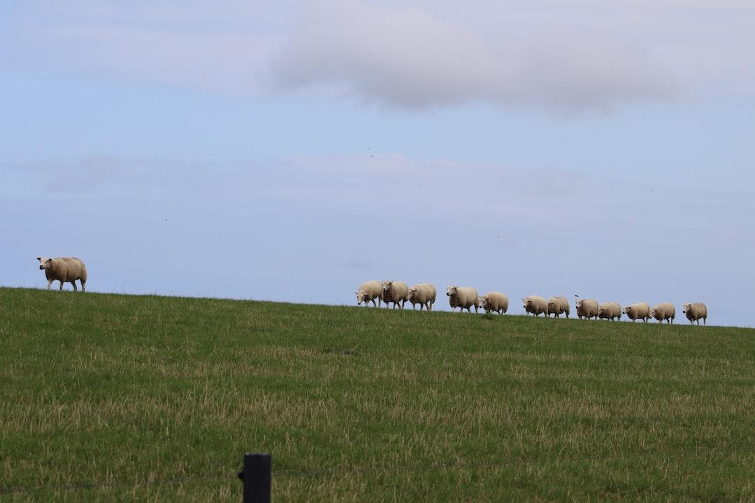 Sheep walking on Dutch dike on Ameland, an island in Holland.