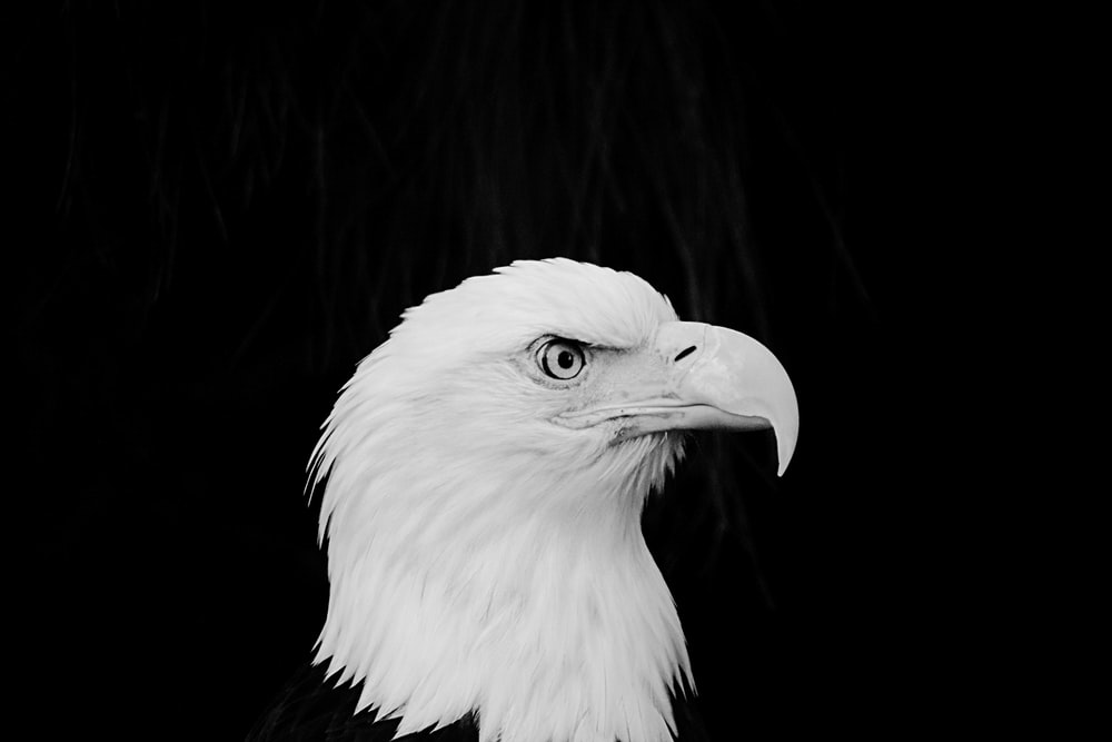 900 Eagle Images Download Hd Pictures Photos On Unsplash