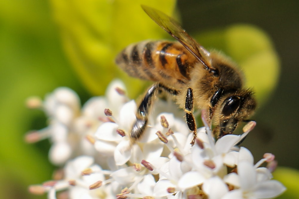 honeybee perching on white flowers