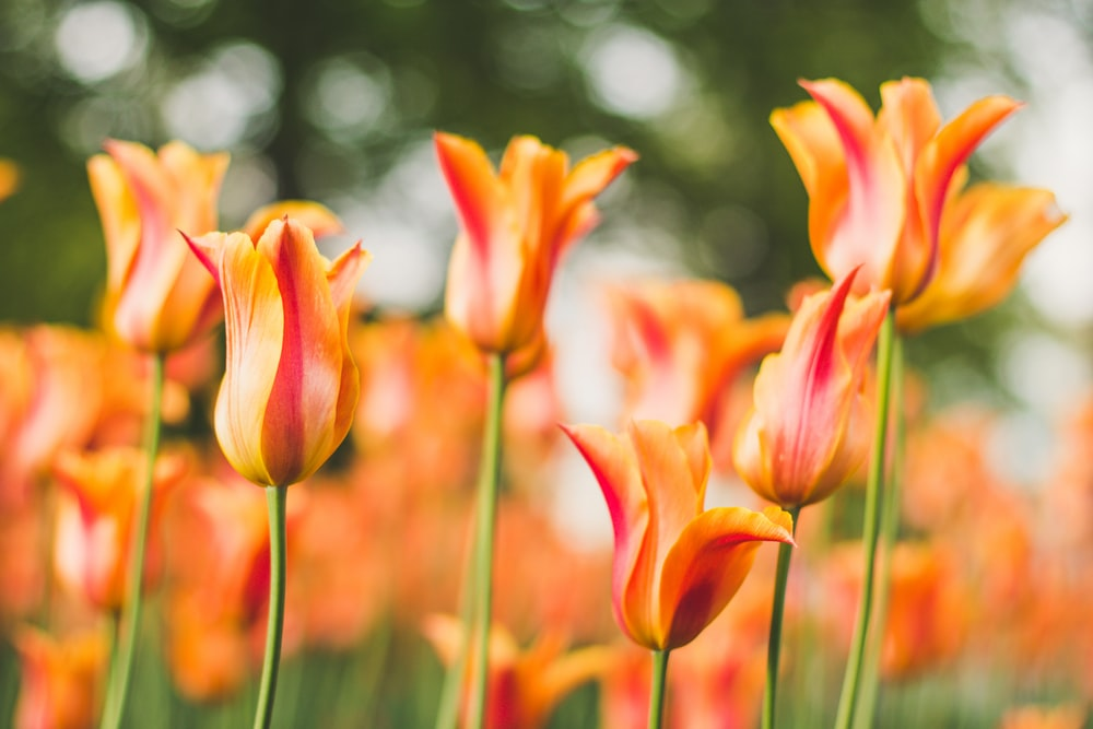 orange-and-red flowers in close-up photography