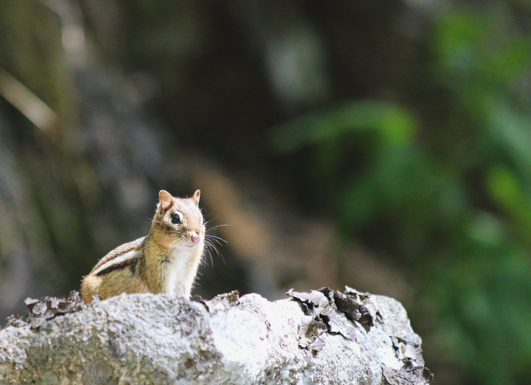 A chipmunk poses on a rock for us in Acadia National Park, Maine. Too many people think it's okay to feed these animal to get a close-up picture, but the truth is feeding wildlife hurts the animals. This photo required a mix of patience, preparedness, and luck to capture this quick little guy. Follow on Instagram @wildlife_by_yuri