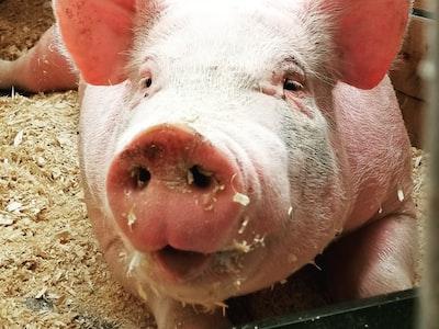 Focolai degli allevamenti industriali di animali
