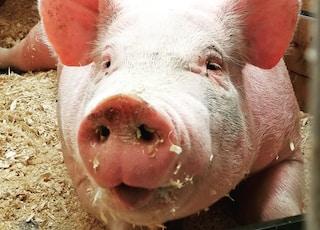pig lies on ground