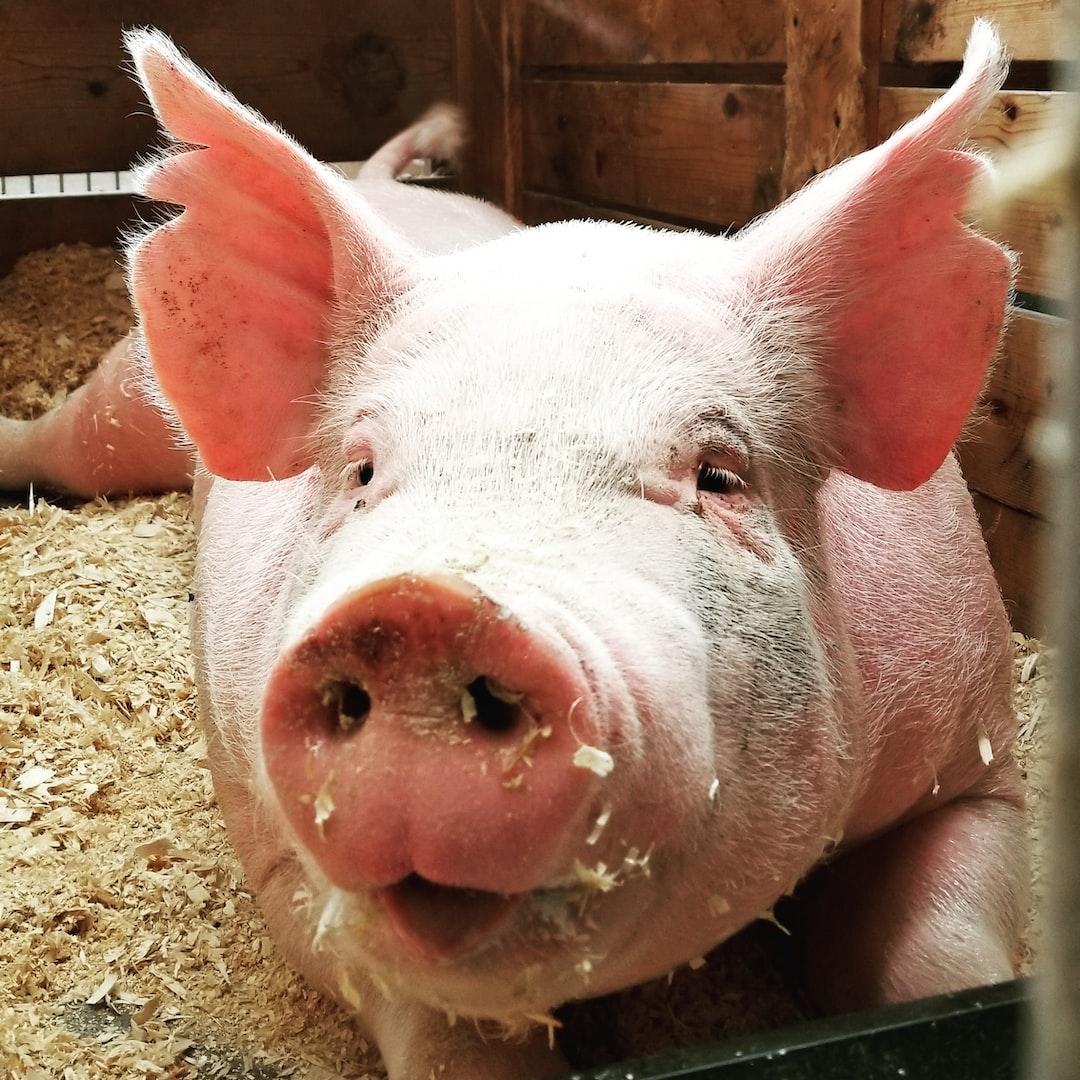 Minnesota State Fair Pig