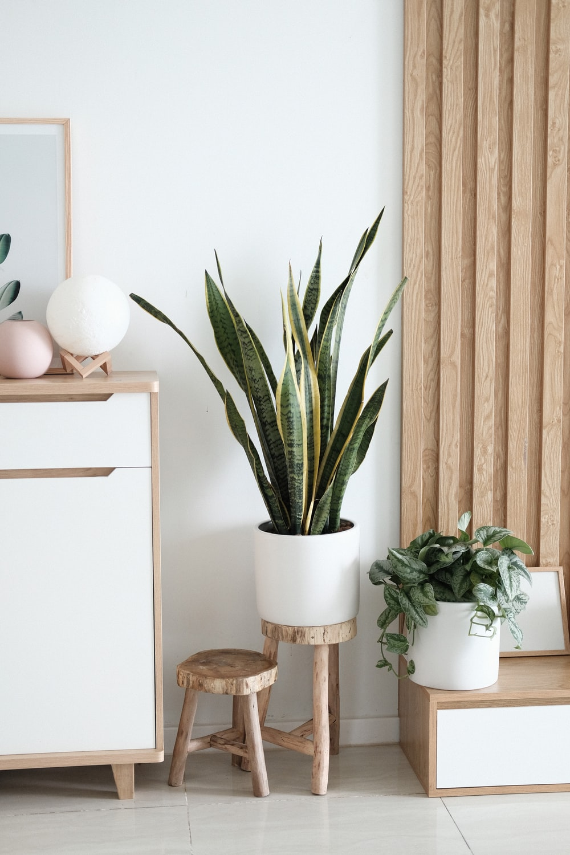 snake plant in vase