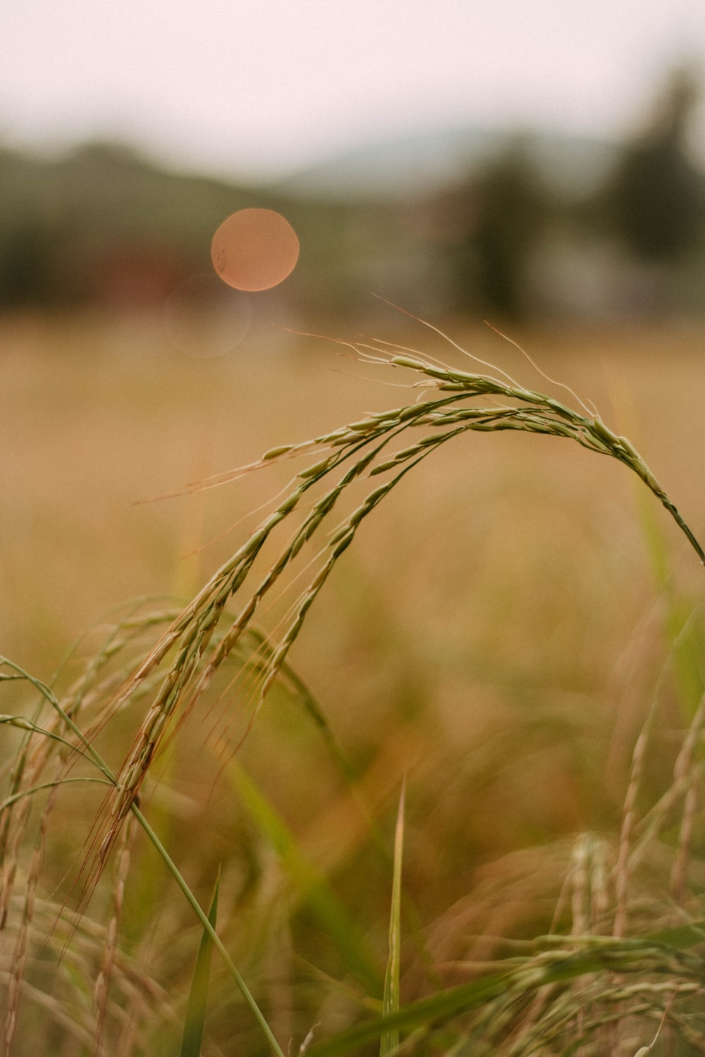 selective focus photo of green wheat plant