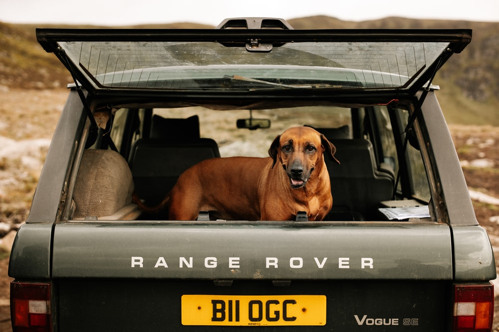 dog inside Land Rover Range Rover SUV