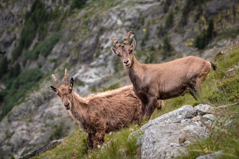 two brown deers