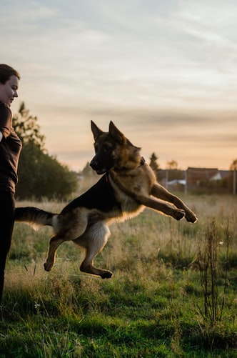 German Shepherd jumping