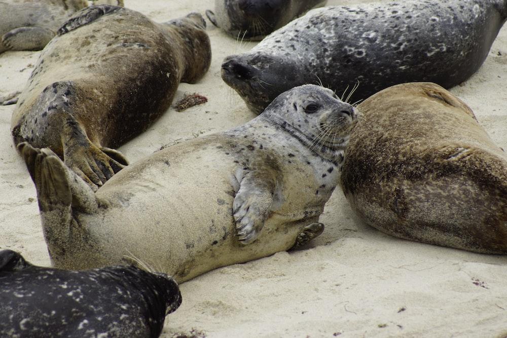 gray sea lions