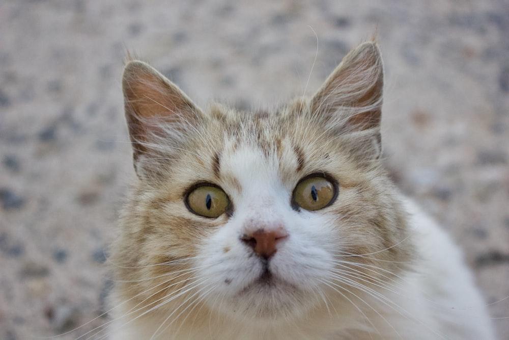 macro photography of orange and white cat