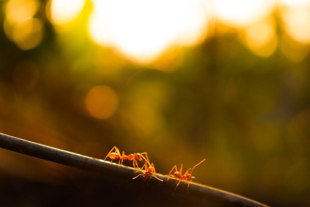 brown ants
