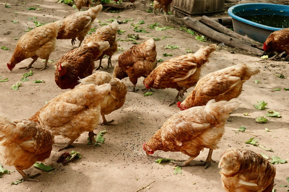 group of hen