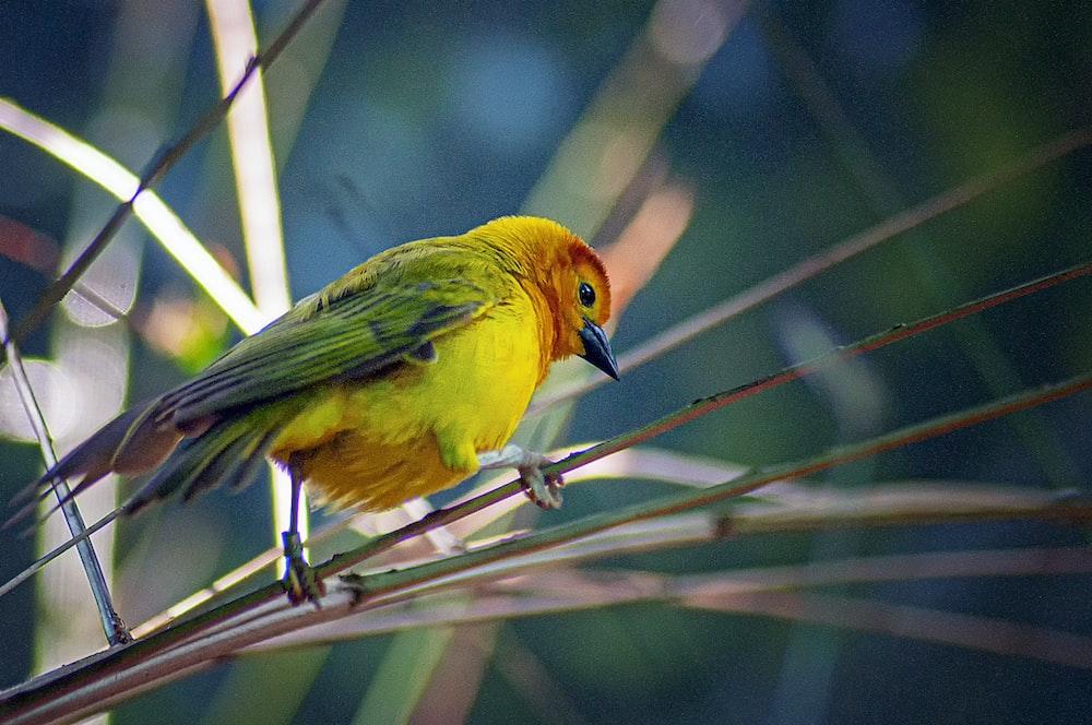 green, yellow, and orange small-beaked bird on twig