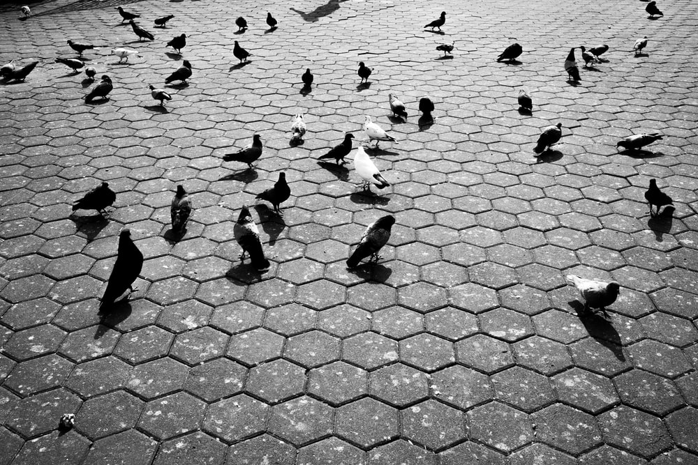 silhouette of pigeons