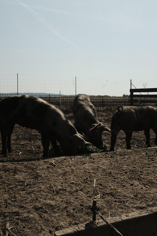 threebrown cattles