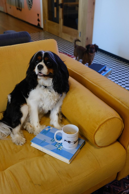 black and white dog on sofa