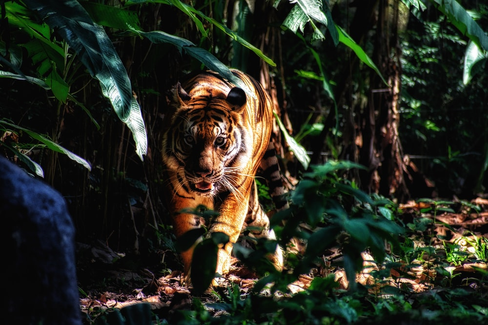 selective focus photography of walking brown tiger beside plants
