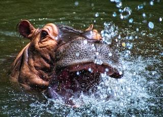 brown hippopotamus in body of water