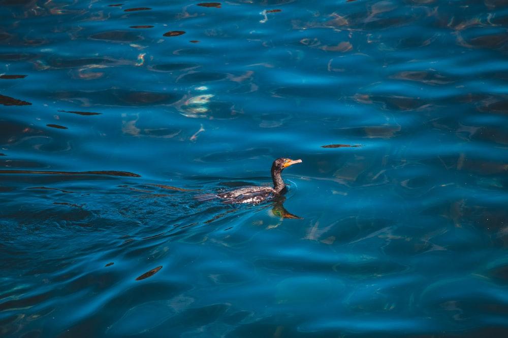 black duck in water