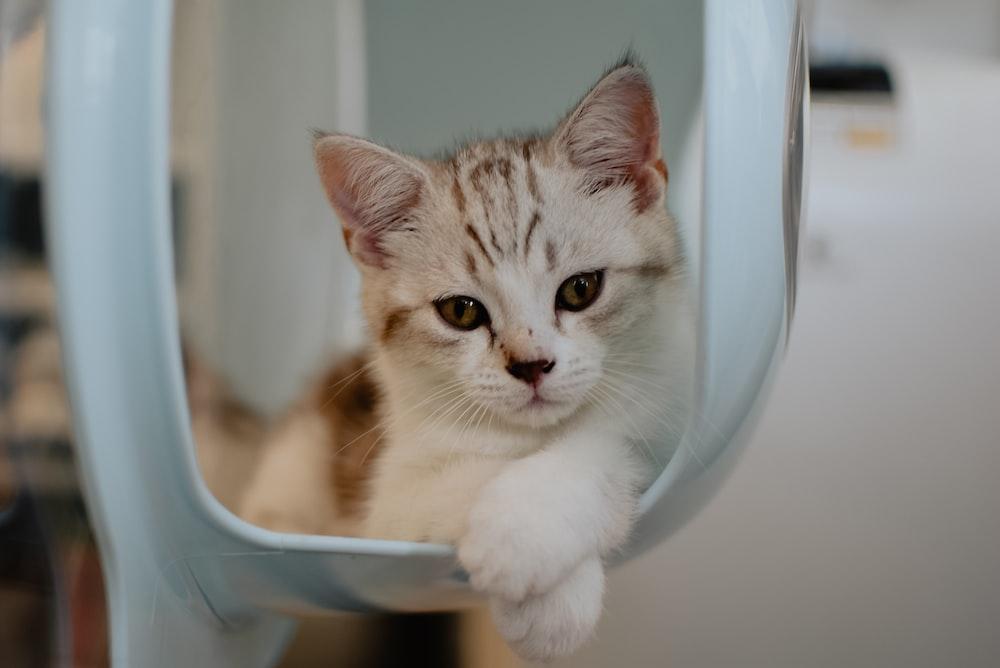 white and brown tabby kitten