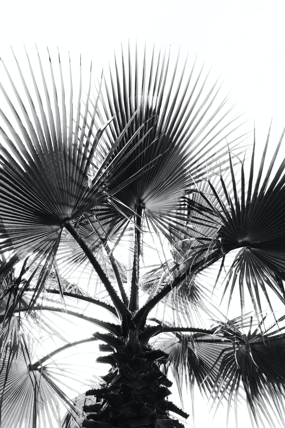Black and white palm tree.