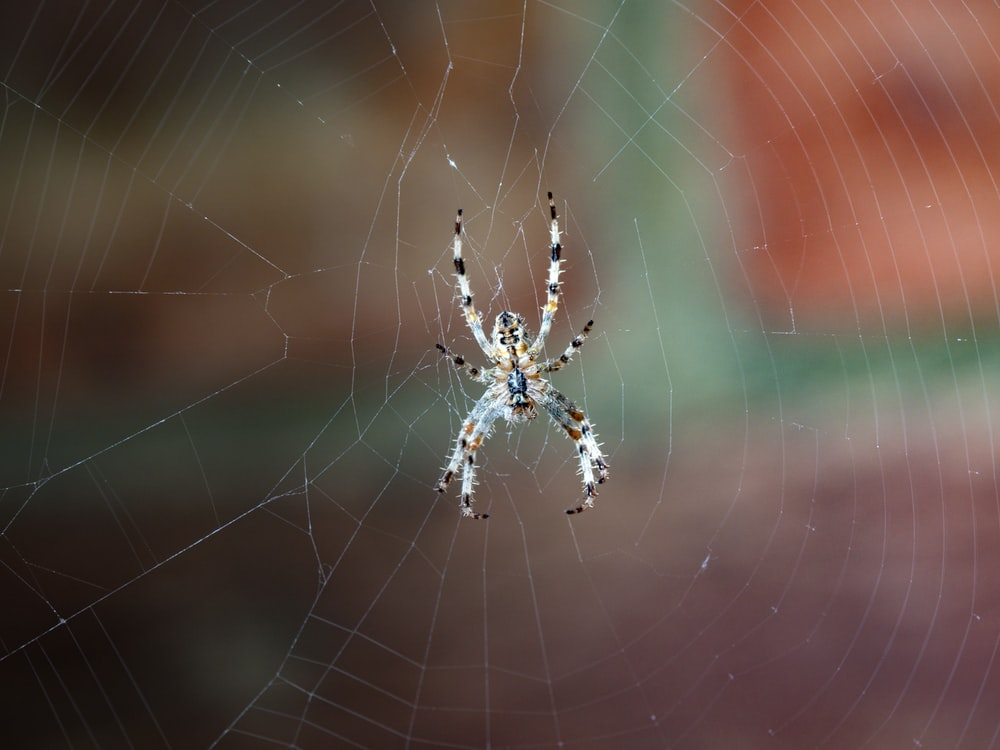 white, black, and brown spider