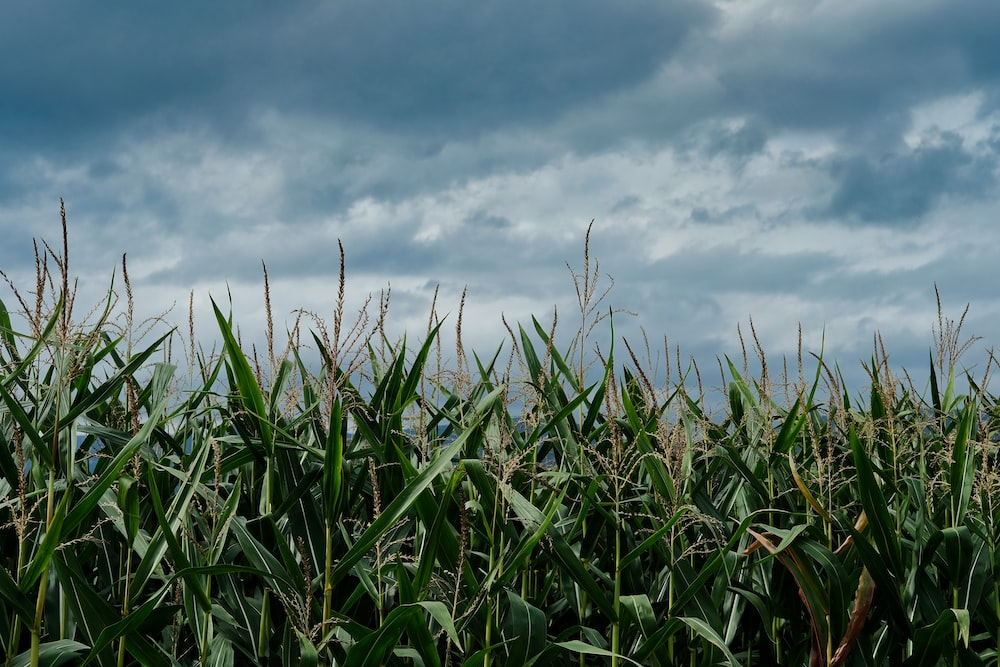 green corn field under blue and white skies during daytime