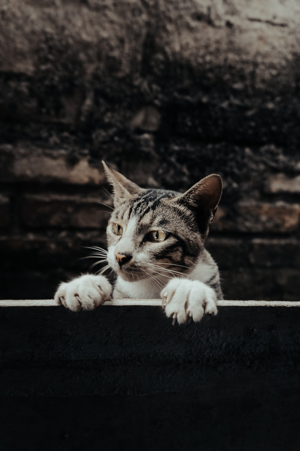 white and grey tabby cat