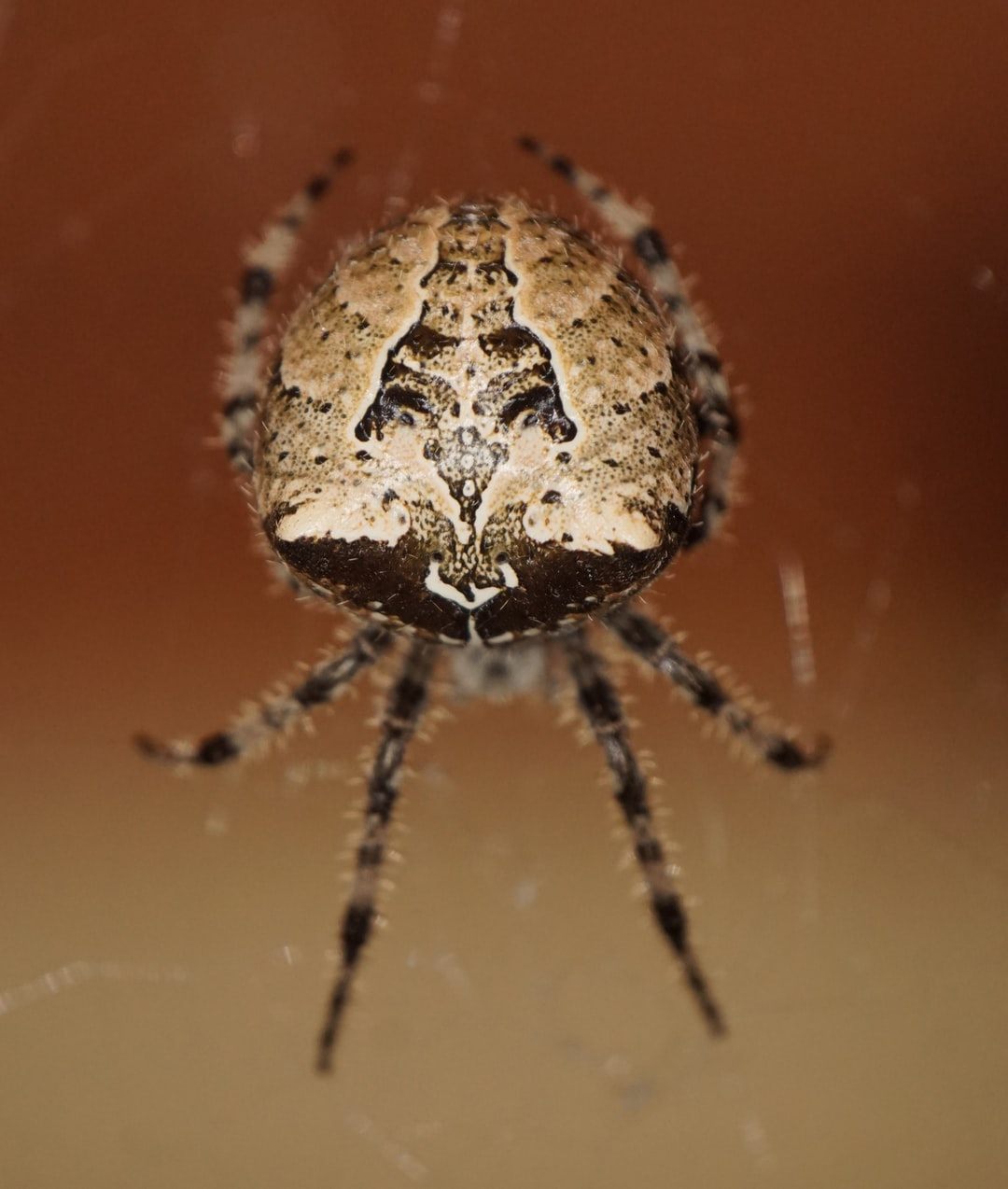 The markings on the cat-faced spider are intricate and eye-catching. I used a flash for this at dusk, as they keep themselves hidden during the daylight.