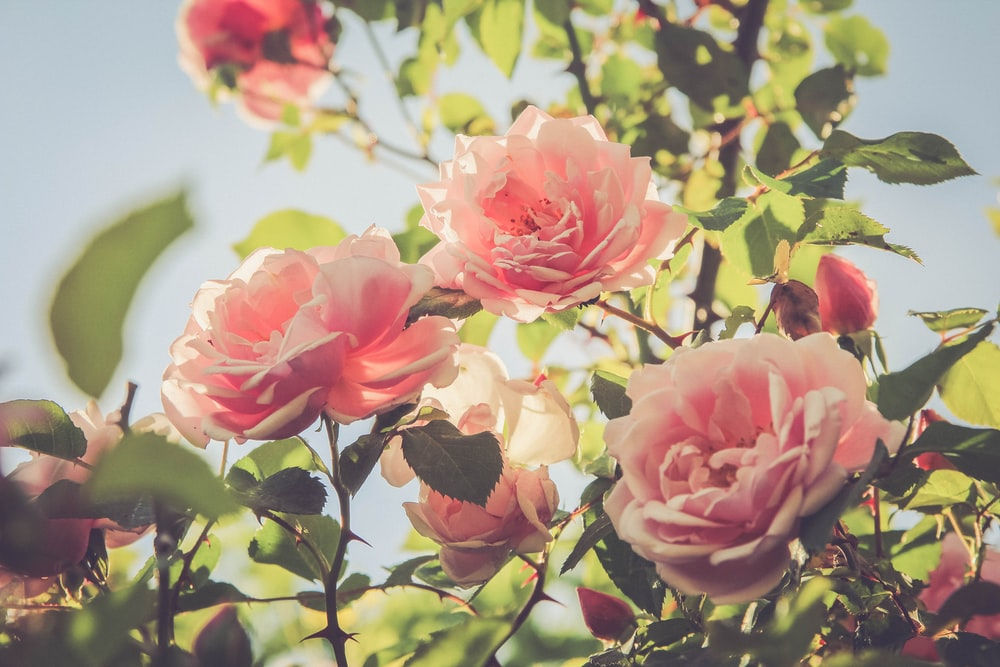 pink rose plant under clear sky