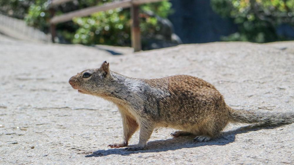 brown and gray animal