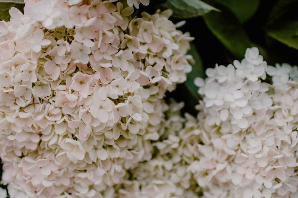 white hydrangeas in bloom