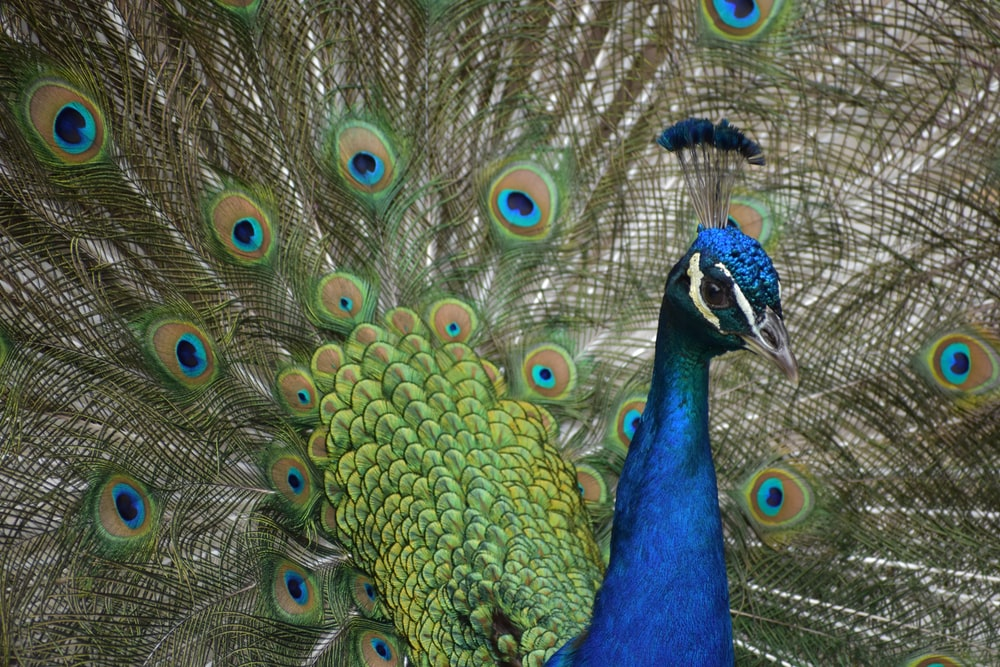 closeup photo of peacock