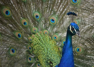 closeup photo of peacock
