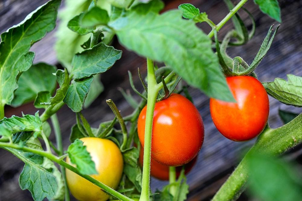 round orange tomato