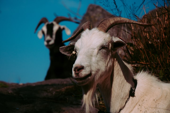 The Curious Goat
