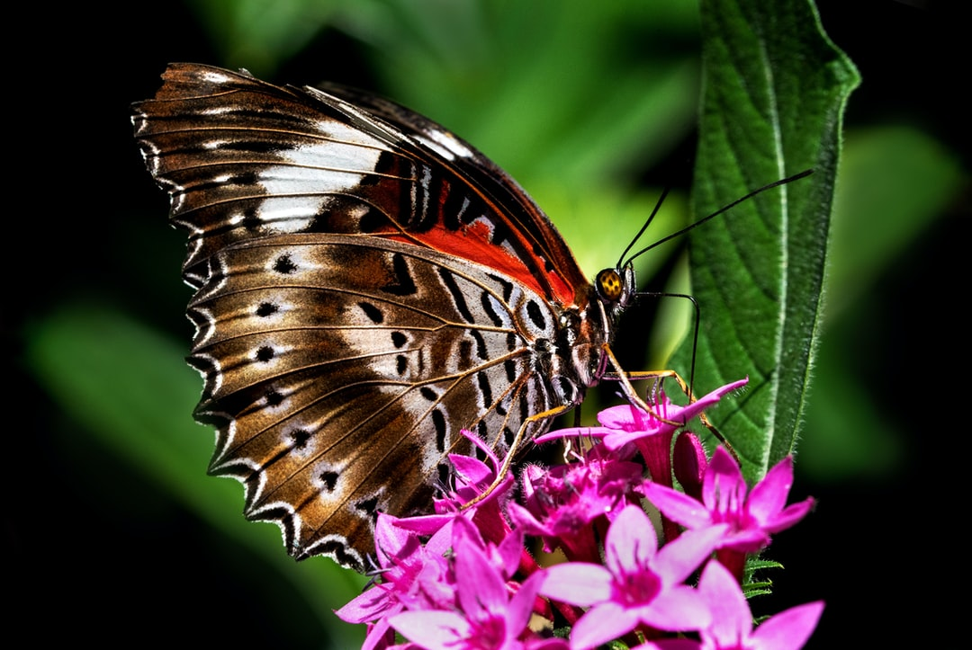 In this photo you can see the long proboscis or tongue of a Red Lacewing butterfly sipping nectar from a pentas flower.