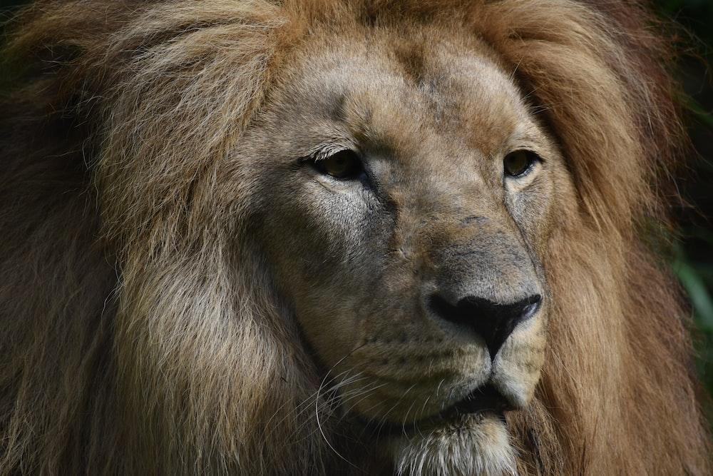 lion head photography
