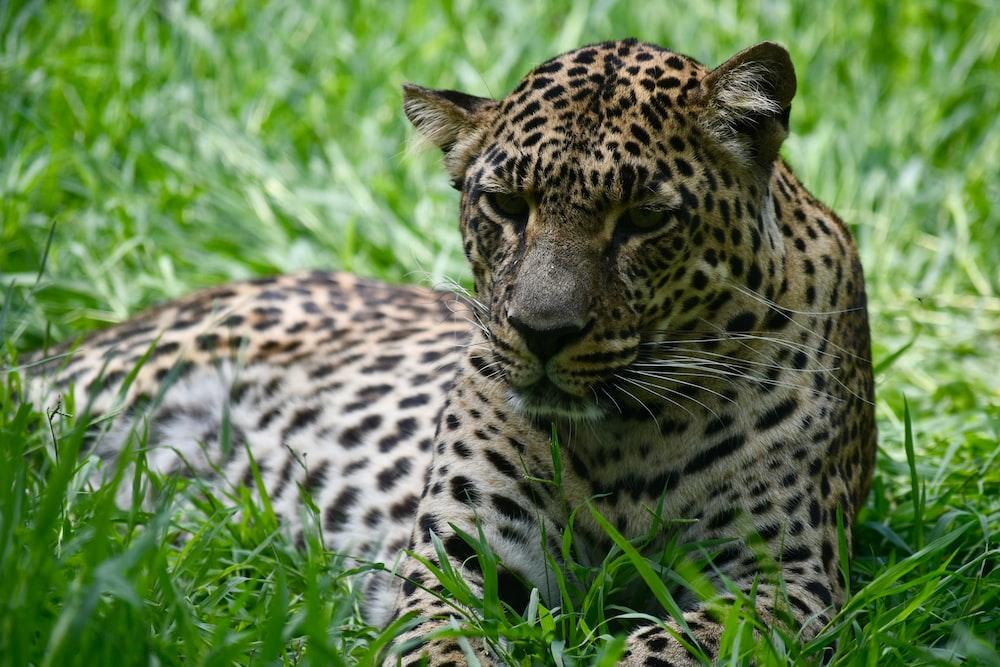 leopard on field