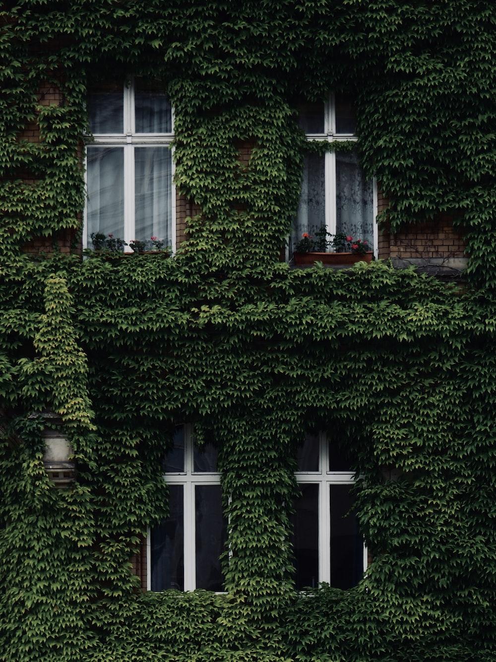 green vines on house wall near windows