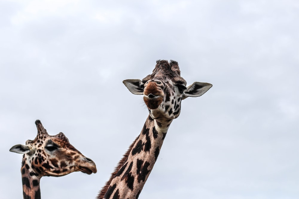 two giraffes during day