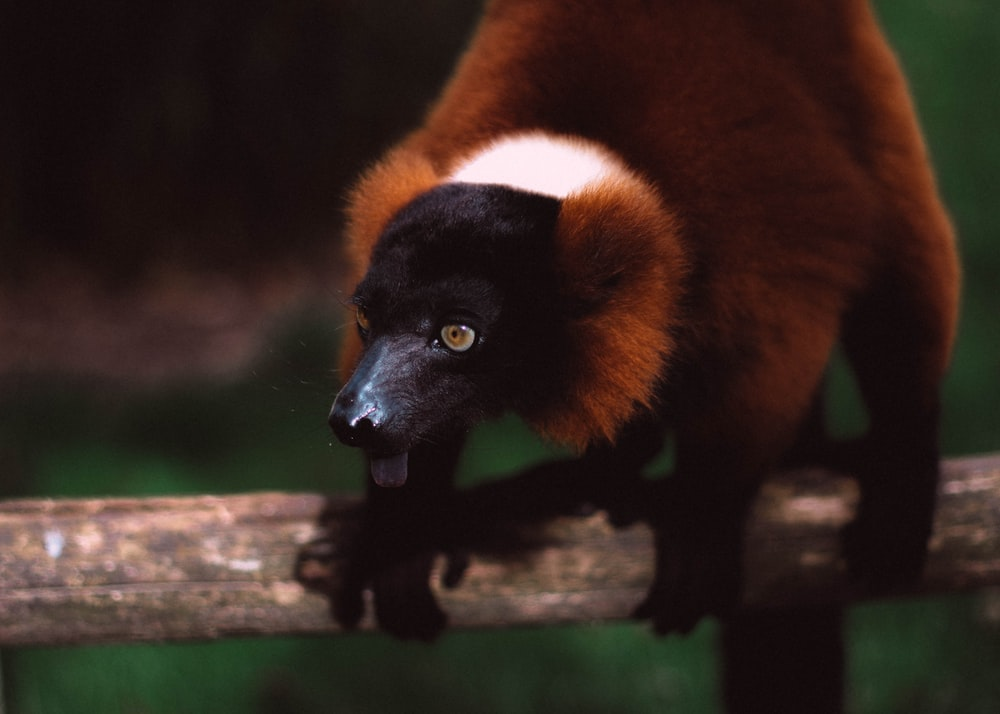 selective focus photography of brown and black monkey during daytime