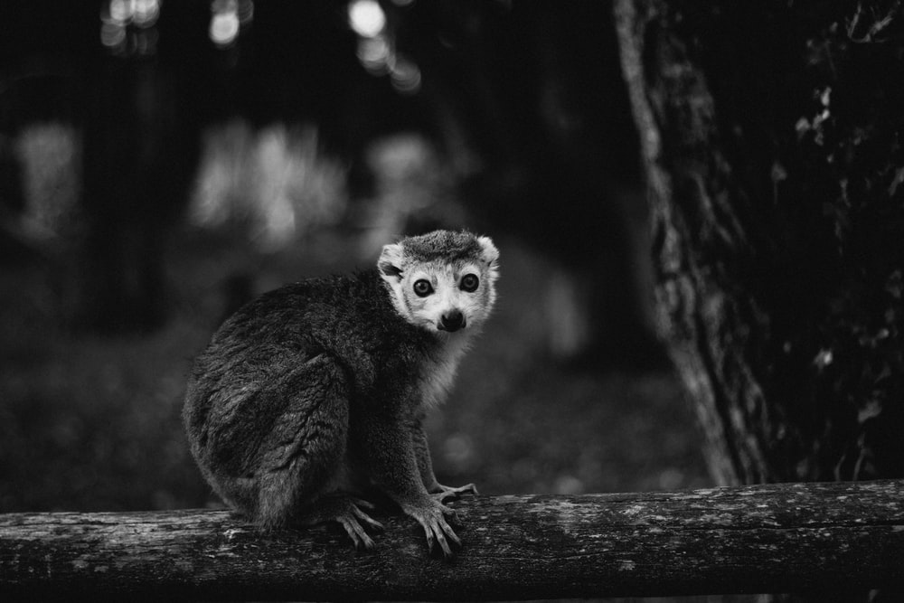 grayscale photography of a monkey