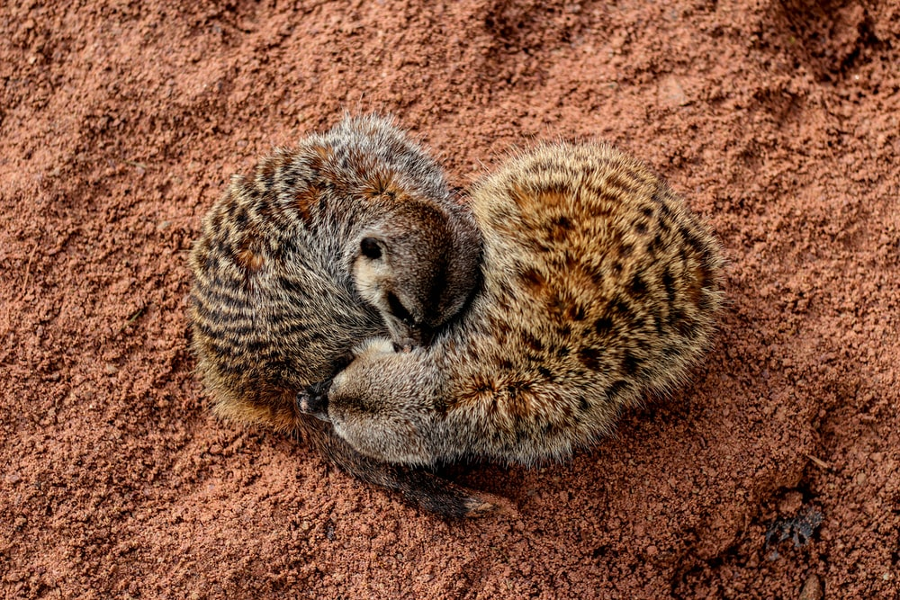 brown and black animal lying on soil