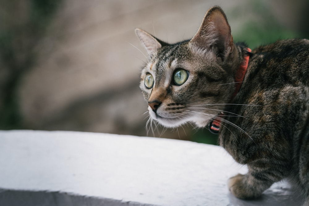 gray tabby cat on white surface